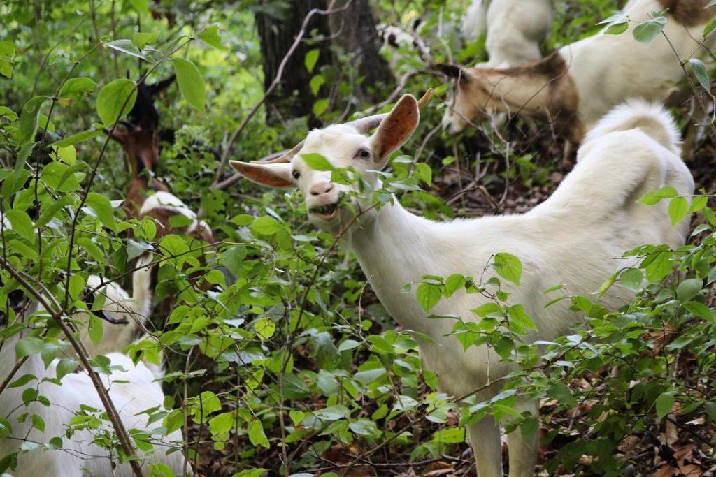 goat-guys