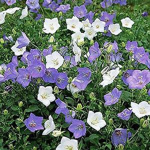 Bellflower Plant