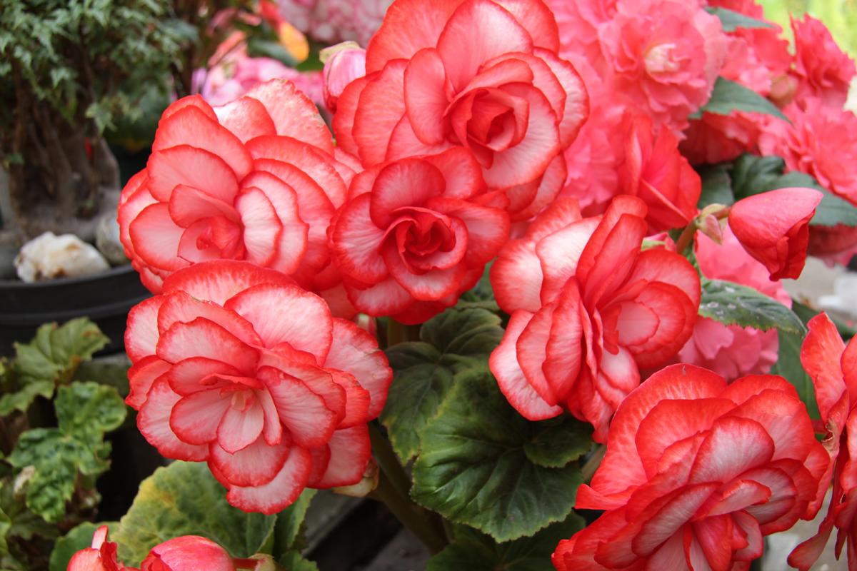 Poisonous plants for pets san antonio surrounding areas real begonias izmirmasajfo