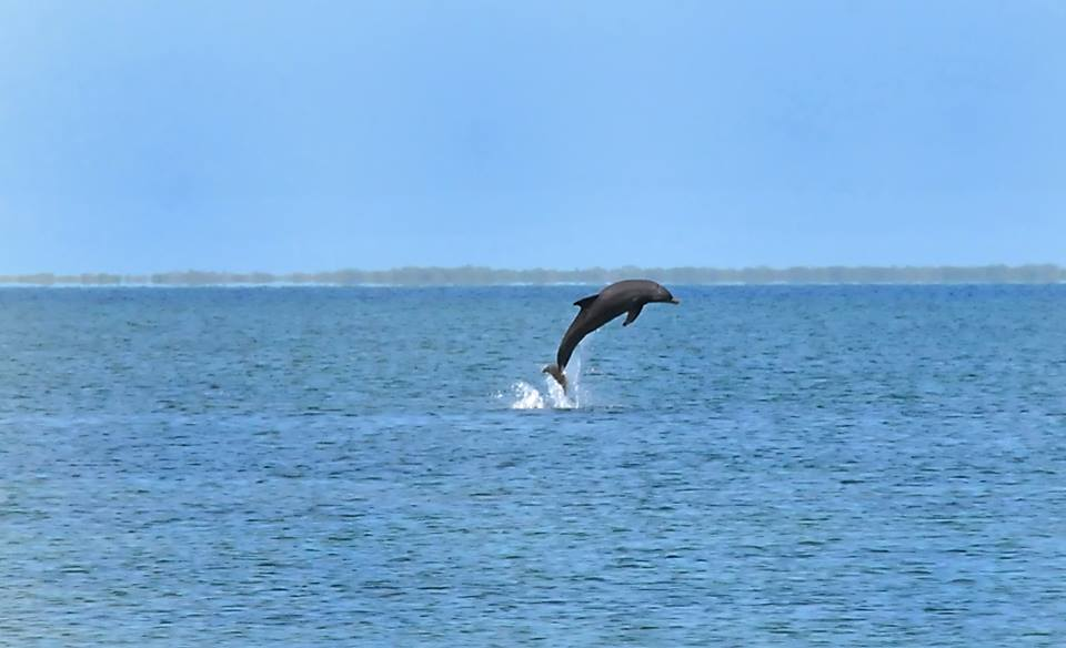 Sarasota dolphin