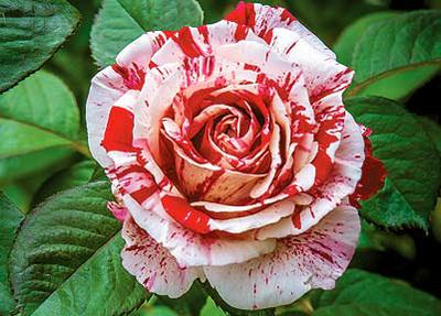 festival-of-roses