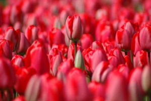 red-tulips-1308696-1279x850