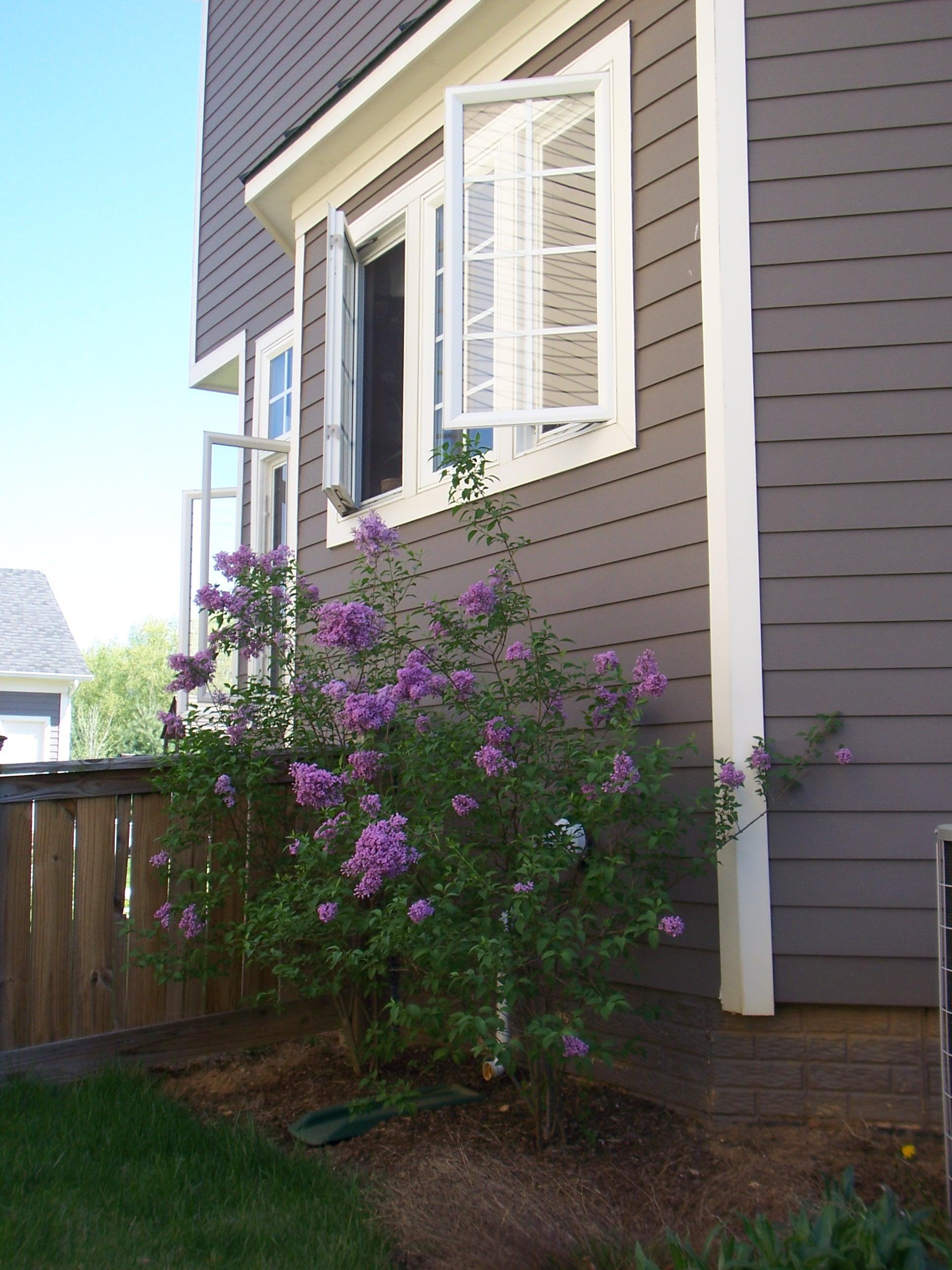 Loudoun Lilacs