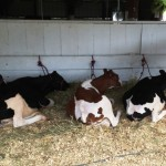 Cows taking a break in the shade