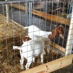 Goats at the Fair