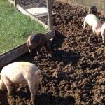 Wayside pig race contestants