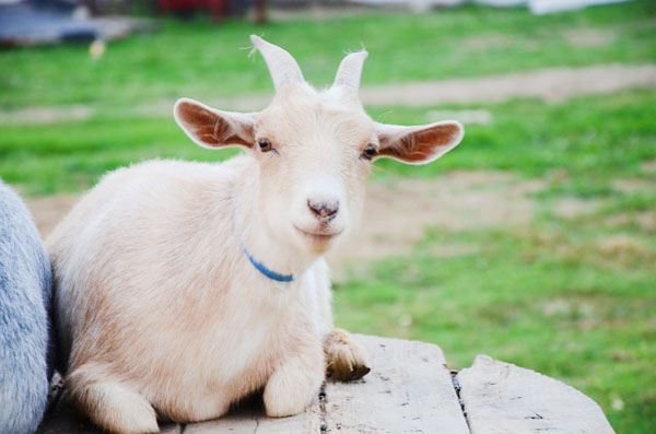 Goat - Image Credit: http://pixabay.com/en/users/Nisatirut_5555-844983/