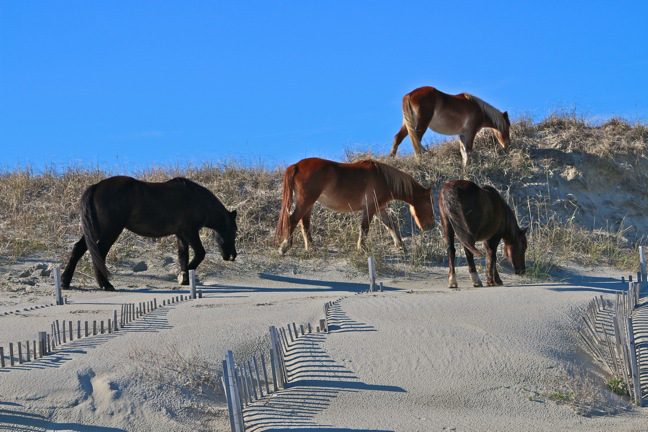 Banker Horses Corolla NC