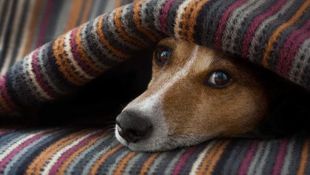 dog-under-blanket-628x354