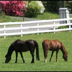 milton horses