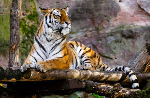 World of Tigers - Tiger King Netflix