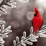 cardinal-on-snowy-tree