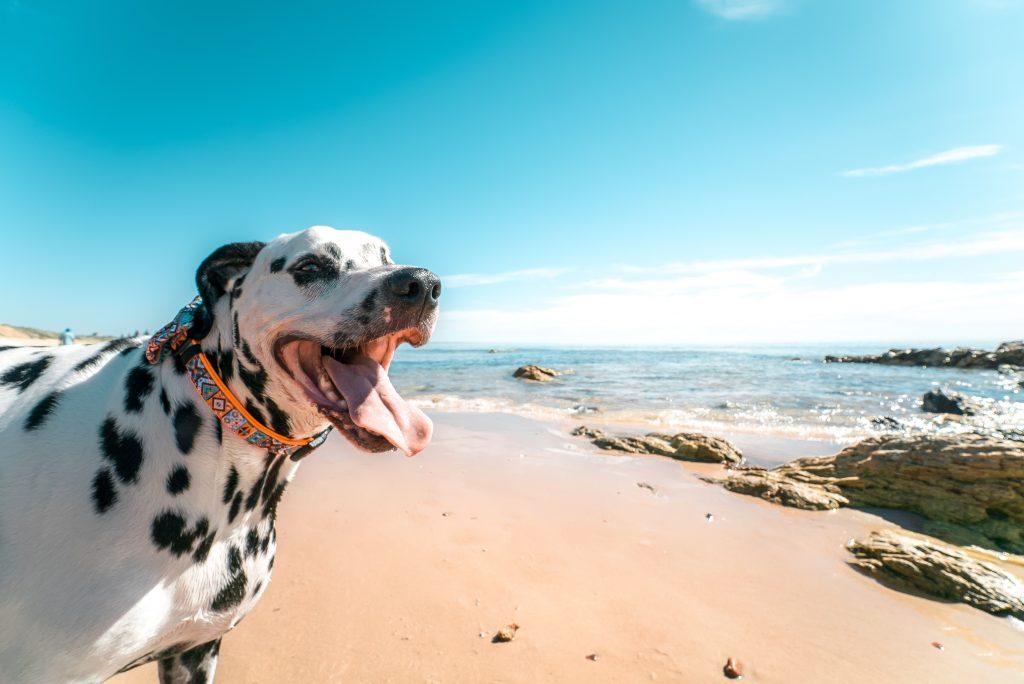 happy Dalmatian dog at the beach