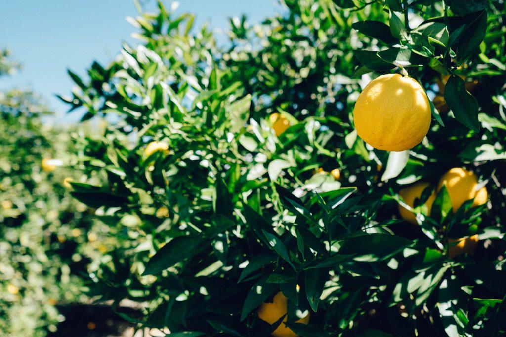 Lemon growing in a tree
