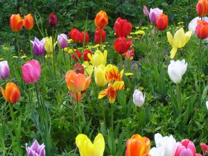 tulips-956076-m