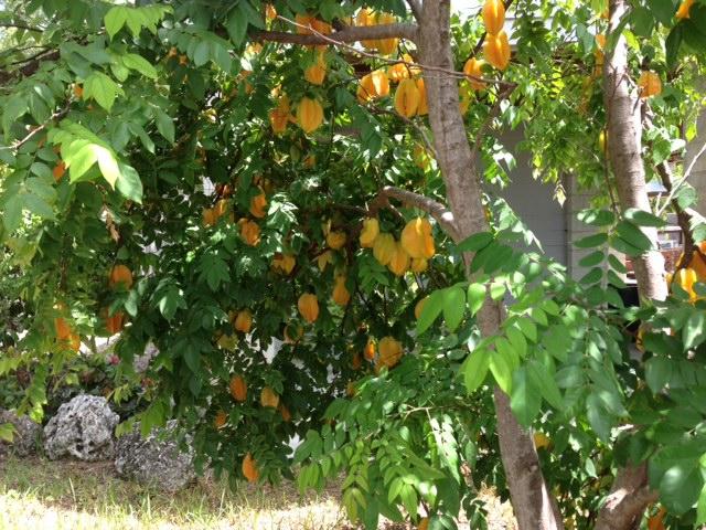 planting a starfruit tree in the keys  keyisle realty, Beautiful flower