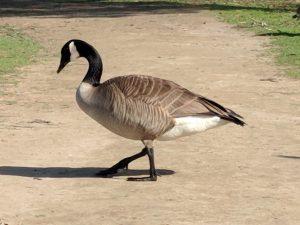Madrona Marsh Goose