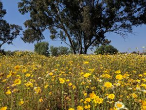 Madrona Wild Flowers