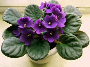 http://www.almanac.com/content/african-violets-fusspots