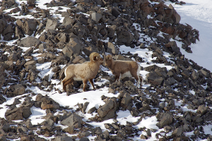 Come to Idaho to see Big Horn Sheep