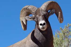 Big Horn Sheep can be hunted in Idaho