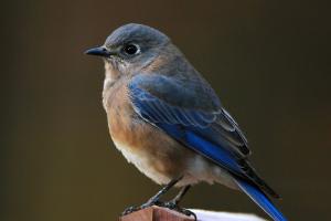 Mountain Bluebirds live in Idaho
