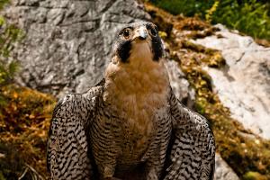 Peregrine Falcon's Live in Idaho