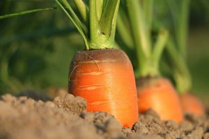 You can grow carrots, onions, and so much more in Idaho