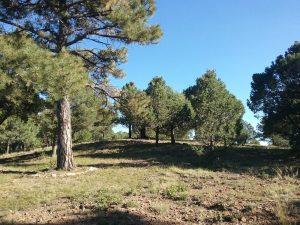Trees on mountain property near Trinidad Colorado