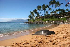 Monk Seal laying on the beach on Napili Bay Maui Hawaii