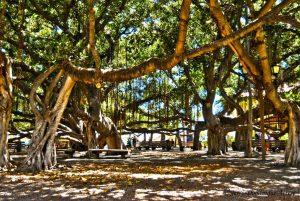 lahaina maui banyan tree
