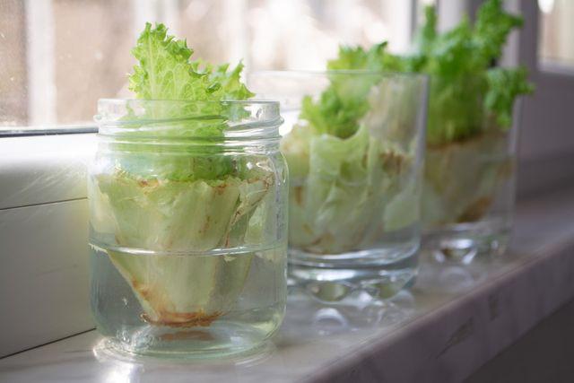 Growing lettuce in water
