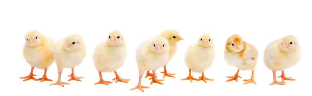 Cape Cod Chickens