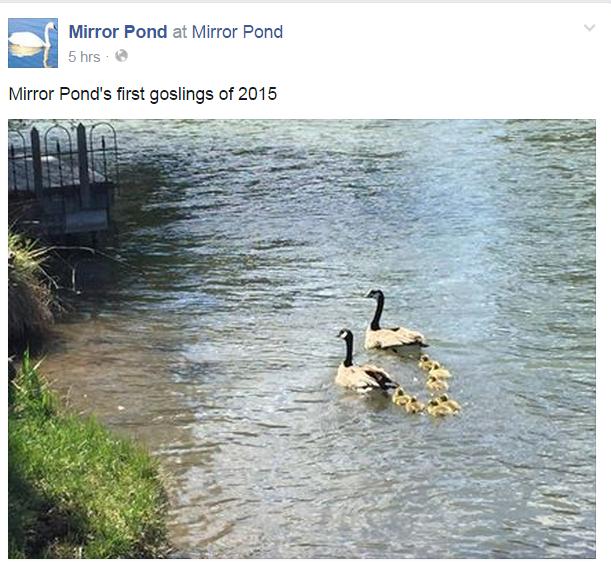 mirror pond goslings