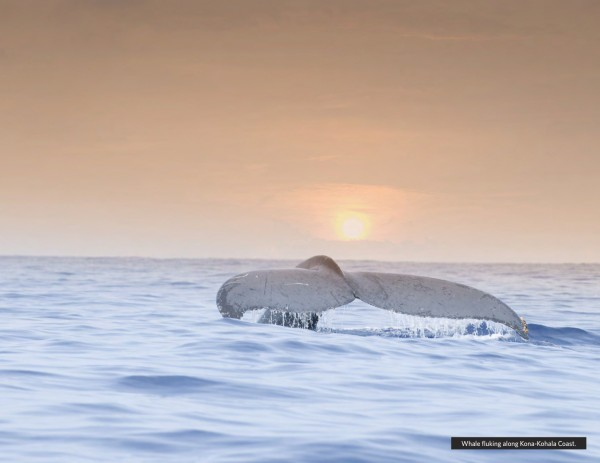 whale-fluke-600x463
