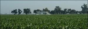 growing-corn